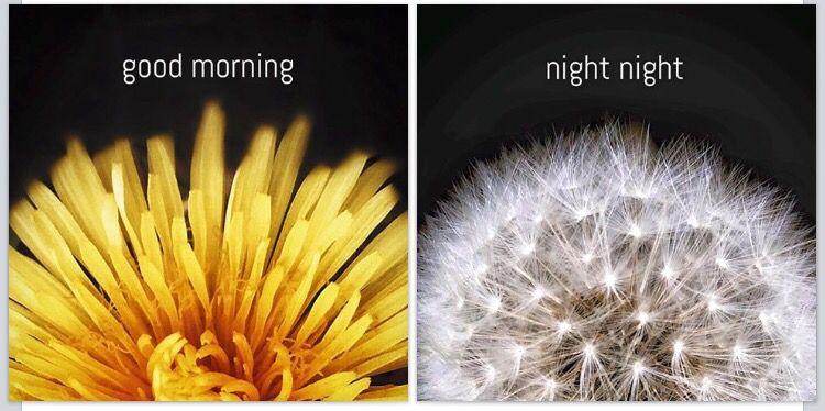 Sun and moon Dandelion.