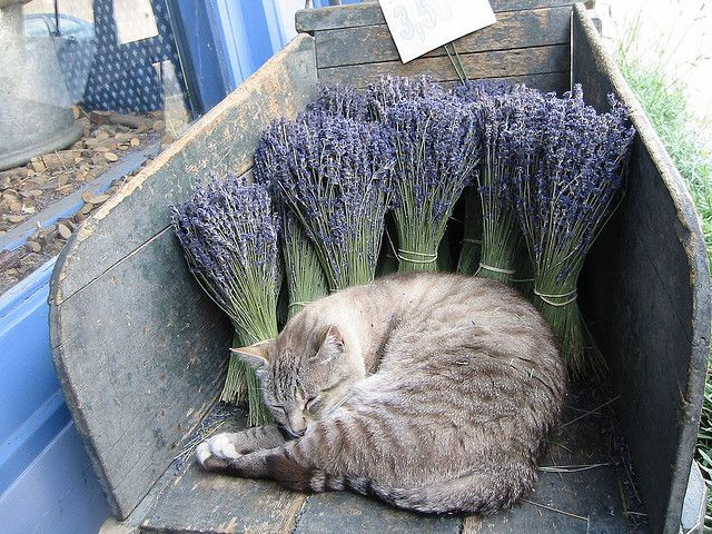 Sleeping cat in lavender: He(She) is sleeping in aromatic air. Probably, in very good dream...