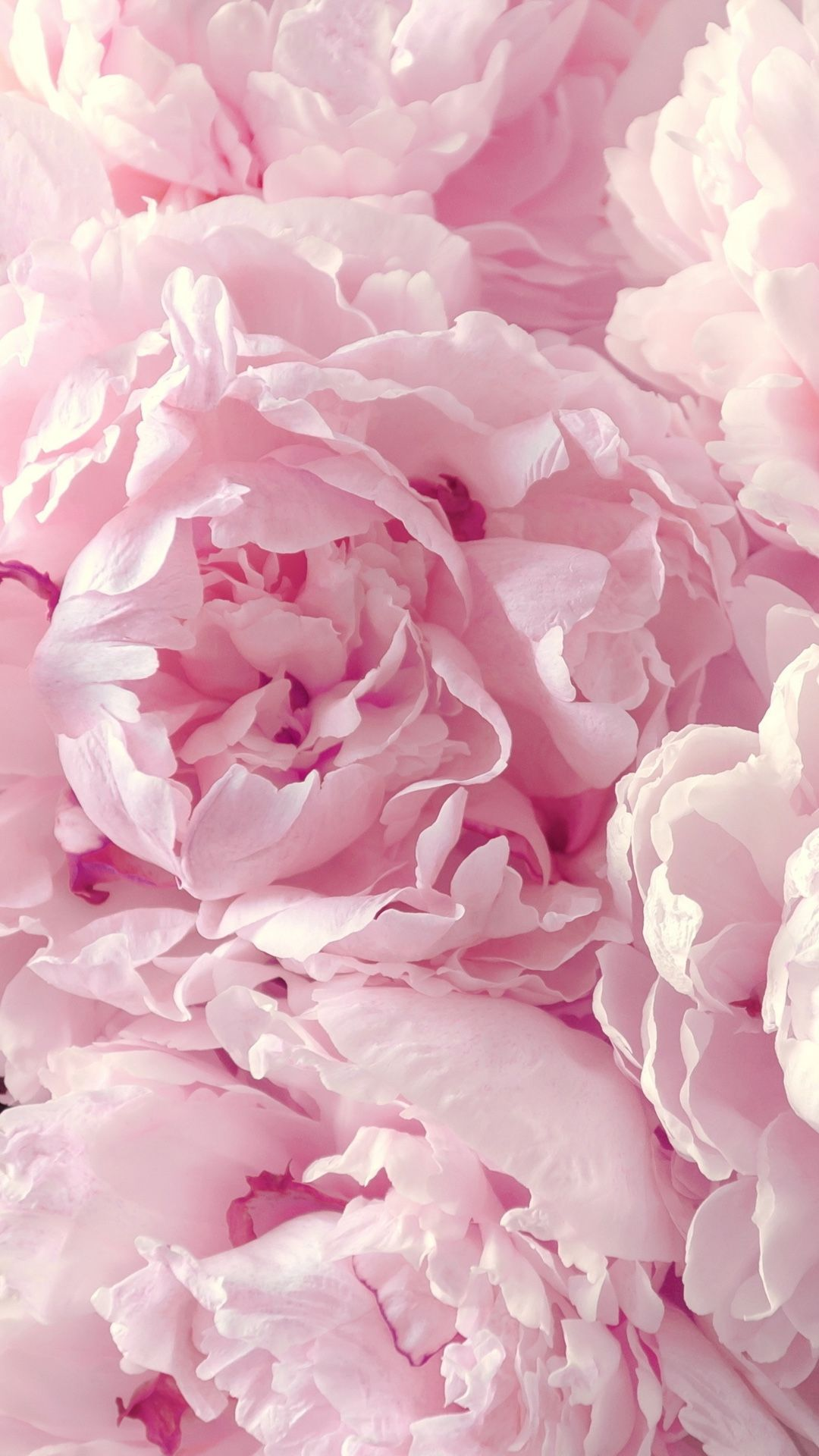 Peonies wallpaper for your iPhone 6 Plus from Everpix app