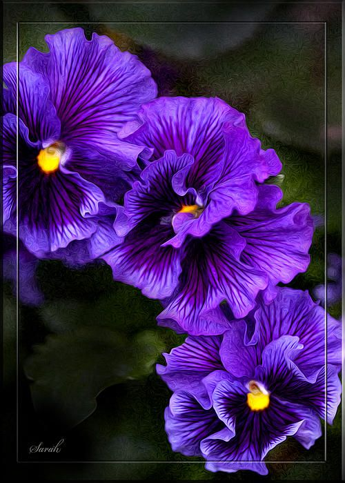 Purple Pansy Pansies Flower Art Rare Flowers