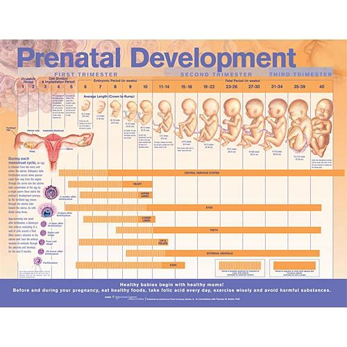Prenatal Development Large.Jpg (500×500) | Child Care | Pinterest