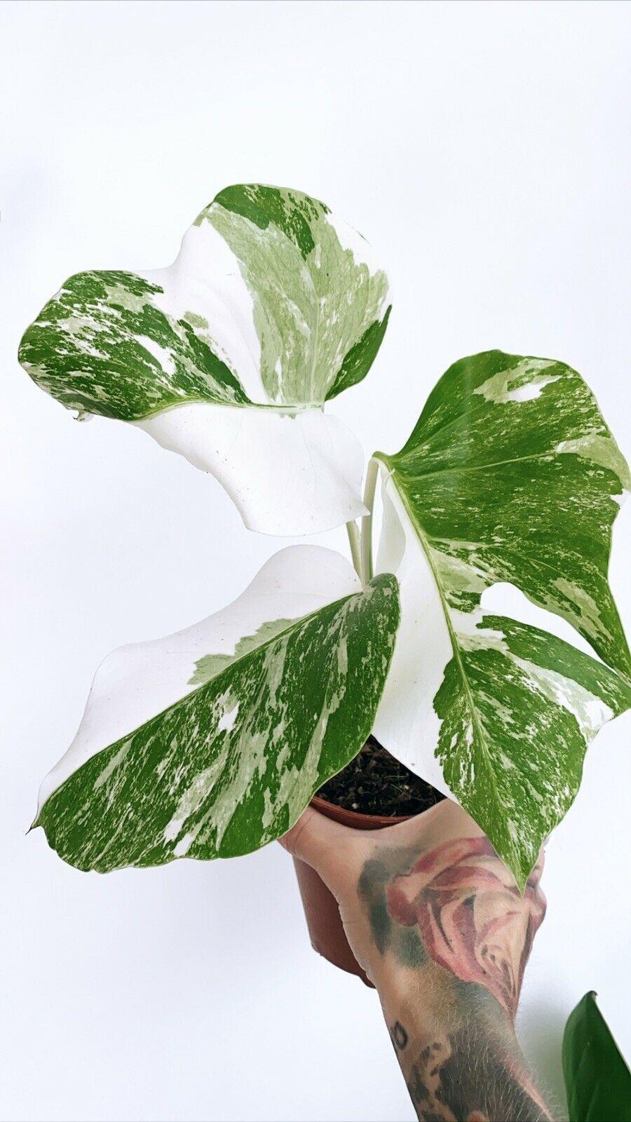 Buying rare plants in 2020 | Rare plants, Plants, Plant leaves