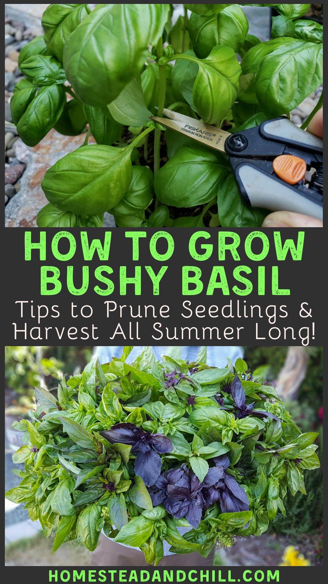How To Grow Bushy Basil To Harvest All Summer Long Homestead And Chill In 2020 Basil Plant Veg Garden Herb Garden Design