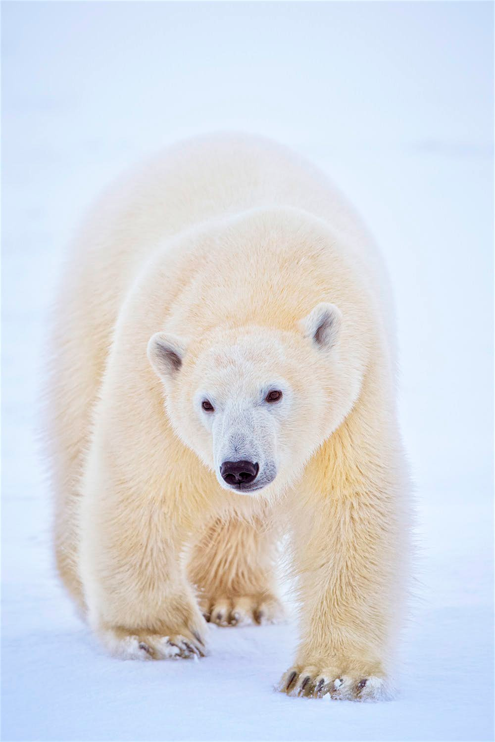 Polar bears close encounters of the furred kind in Canada