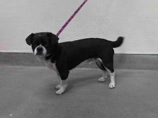 14-23785 Boston Terrier • Adult • Male • Medium SEAACA (Southeast Area Animal Control Authority)  Downey, CA 90241  Phone: (562) 803-3301  Contact this Organization ABOUT 14-23785 14-23785 Boston Terrier Mix Black/White Impounded on 05/01/2014 from Buena Park Availability Date 05/06/2014 call to confirm