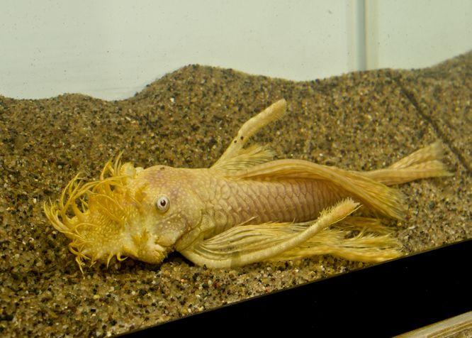 Tropical Freshwater Aquarium Fish Mail Order German Blue Rams Cichlids Labyrinth Fish Rainbowf Aquarium Fish Freshwater Aquarium Fish Freshwater Aquarium