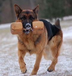 Picture German Shepherd Breeds German Shepherd Dogs Shepherd Dog
