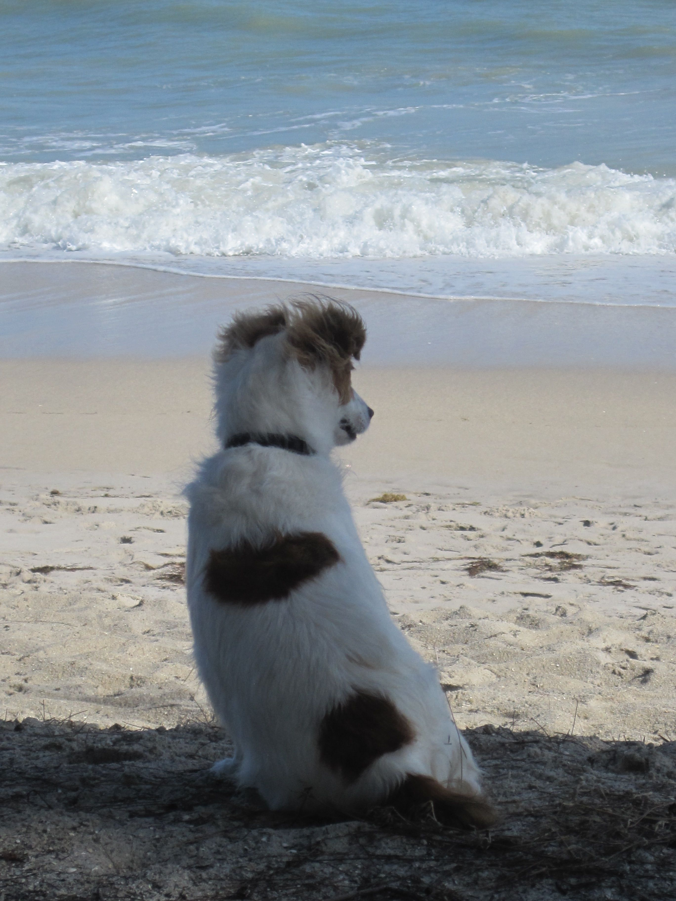 Kaos at the beach made in the shade! | DOgS | Pinterest | Dog ...