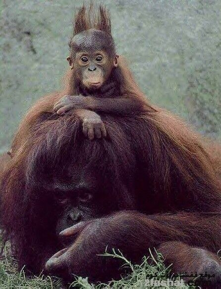 Hairstyle Funny Monkey Pictures Funny Animals Monkeys Funny