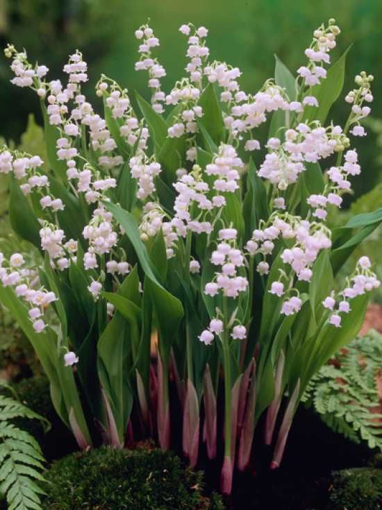 Photo of Convallaria majalis / lily of the valley