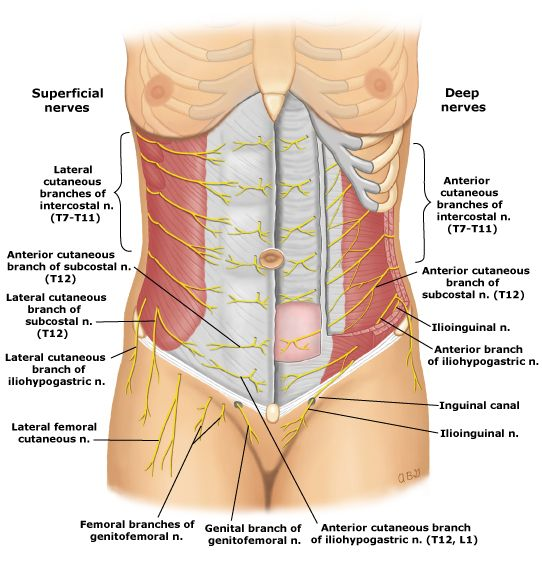 Anatomy Lesson: Nerves of the Abdominal Wall | anatomy/medicine ...