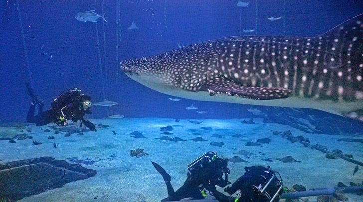 Diving In The Georgia Aquarium With Whale Sharks Georgia Aquarium Aquarium Diving