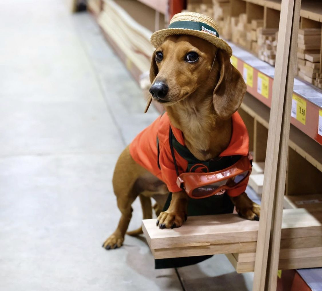 14 Best Jobs For Your Dachshunds The Paws Dachshund Baby
