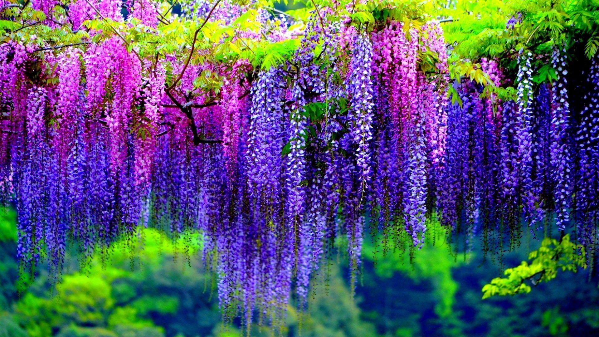 Earth Wisteria  Earth Blossom Tree Purple Flower Pink Flower Wallpaper