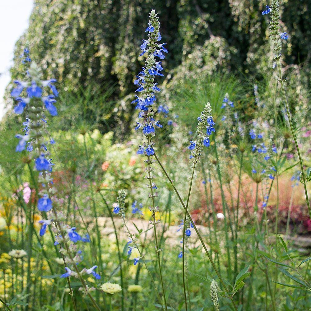 Salvia Uliginosa White Flower Farm Blue Flowers Blue Garden
