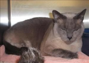 Ausha Is An Adoptable Tonkinese Cat In Silverdale Wa Primary Color Blue Point Weight 11 11 Age 7yrs 0mths 0wks Animal Ha Tonkinese Cat Animals Tonkinese