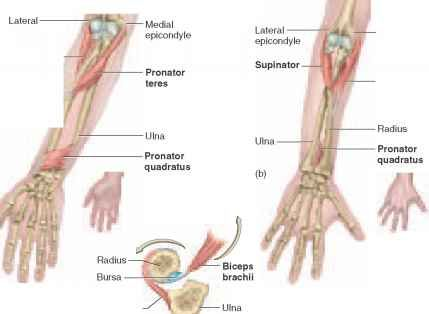 The pronator teres and pronator quadratus are both involved with ...