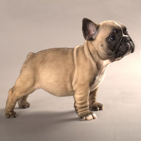 French Bulldog Puppy Bulldog Puppies French Bulldog Puppies