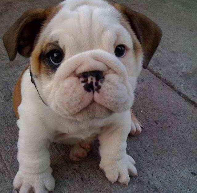 Best Baby Blue Eye Chubby Adorable Dog - d5fbbf72e8e3d1307e112ffa8f4b10ec  Perfect Image Reference_14162  .jpg