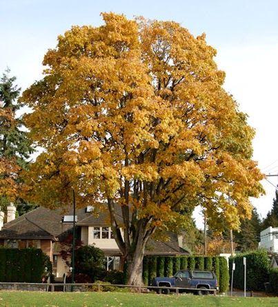 Big Leaf Maple Or Oregon Maple Acer Macrophyllum Portola Valley