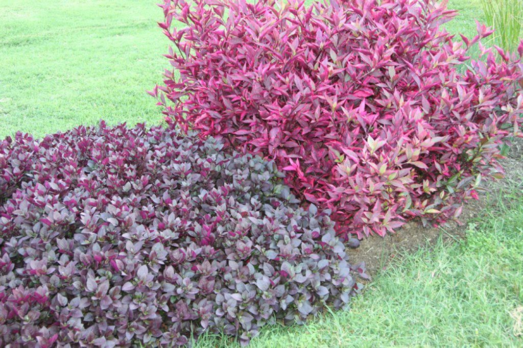 Pin By Sarah Ward On Landscaping In 2020 Josephs Coat Plants Ornamental Trees