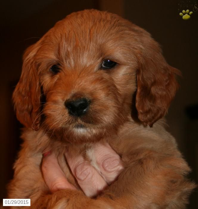 Goldendoodle Puppy for Sale in Ohio Goldendoodle puppy