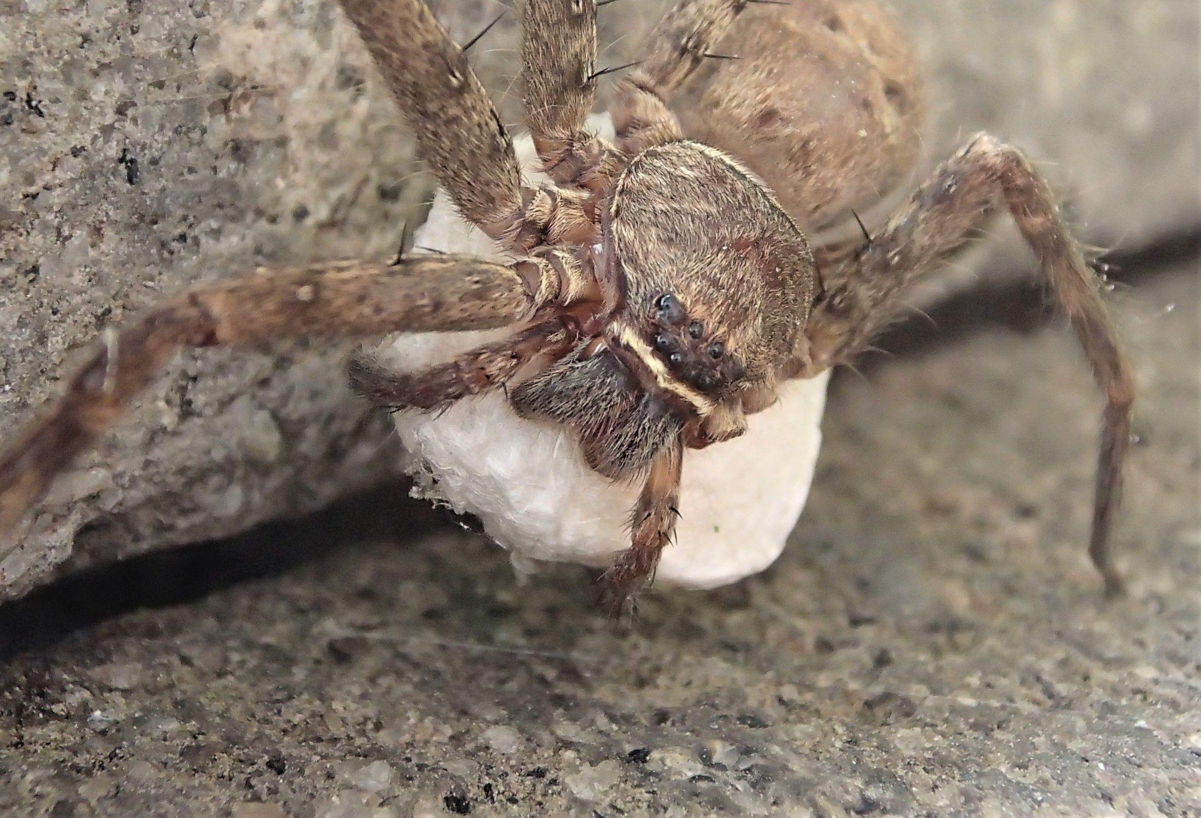 家に出てできた大きなクモ アシダカグモ アシダカグモ