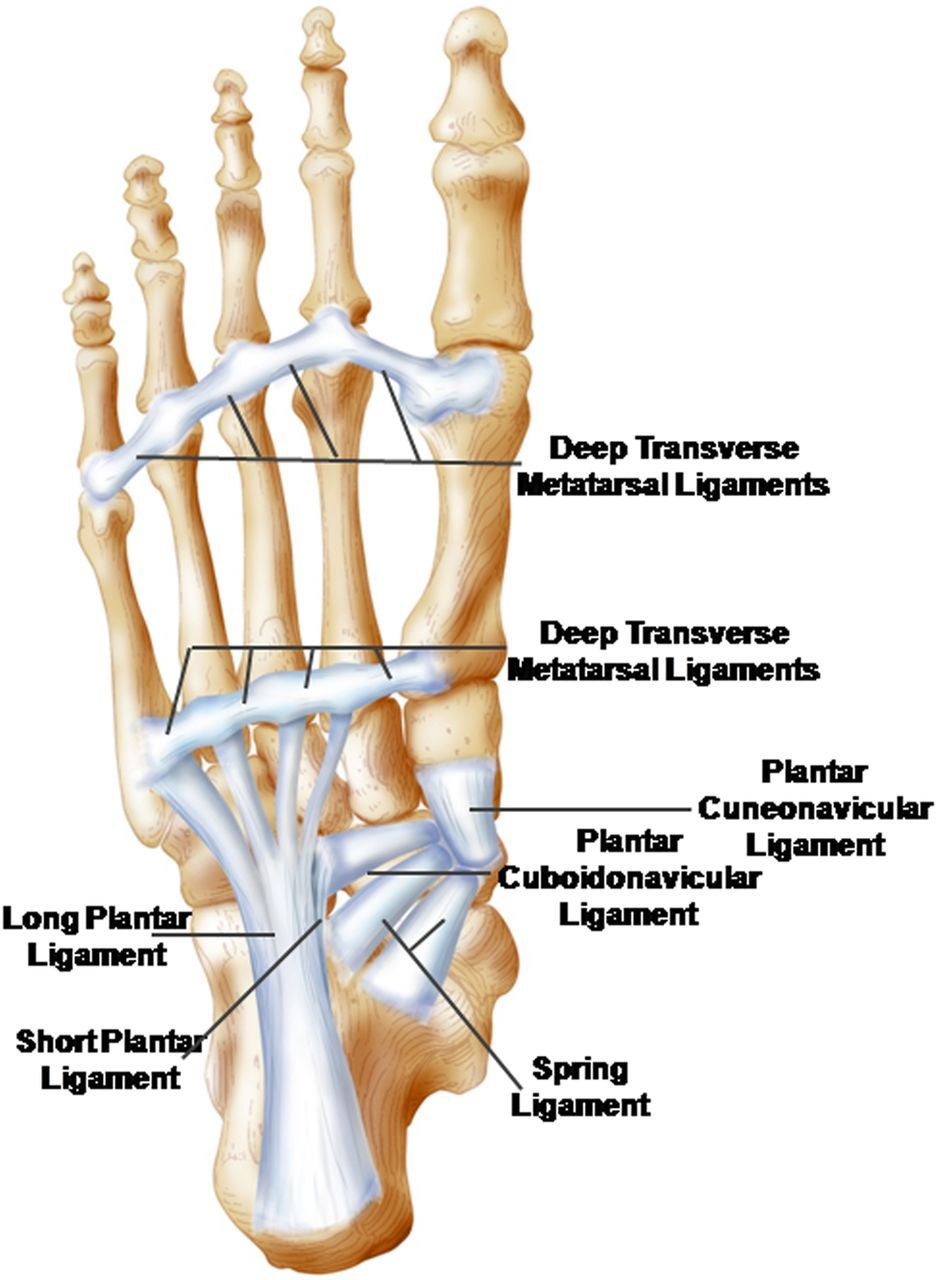 The foot core system: a new paradigm for understanding intrinsic ...