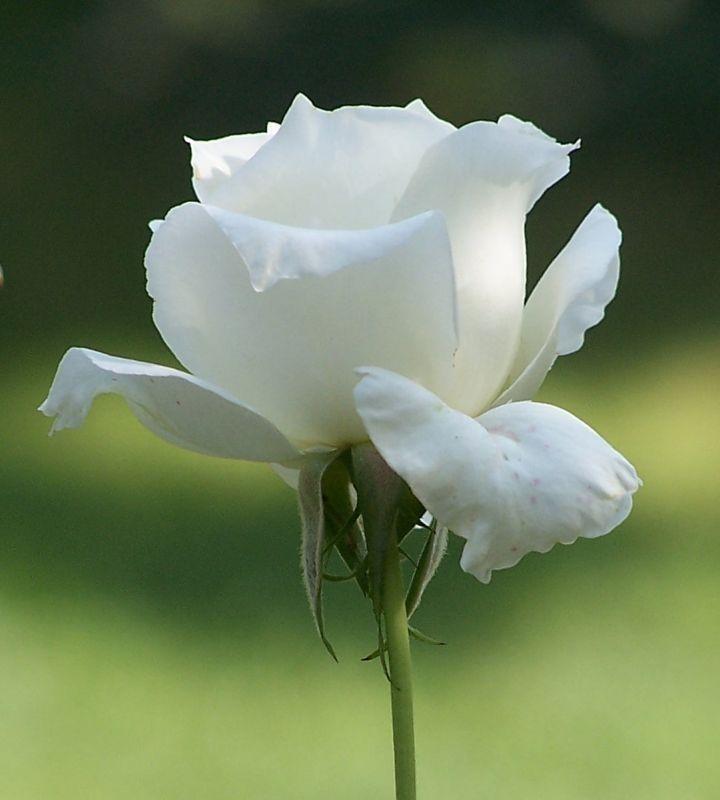 الورد الابيض Pesquisa Google White Roses Beautiful Roses Fragrant Flowers