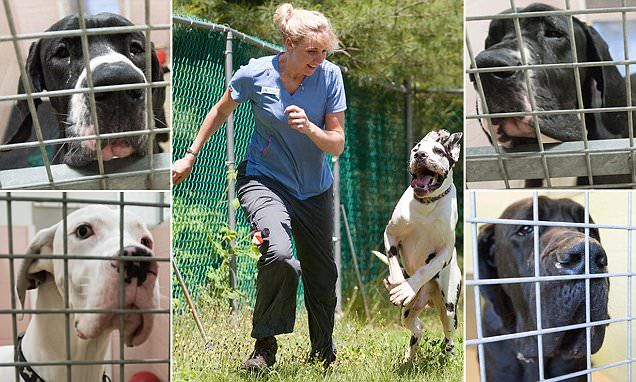 Meet Caesar, one of 93 Great Danes rescued from Cruella puppy mill