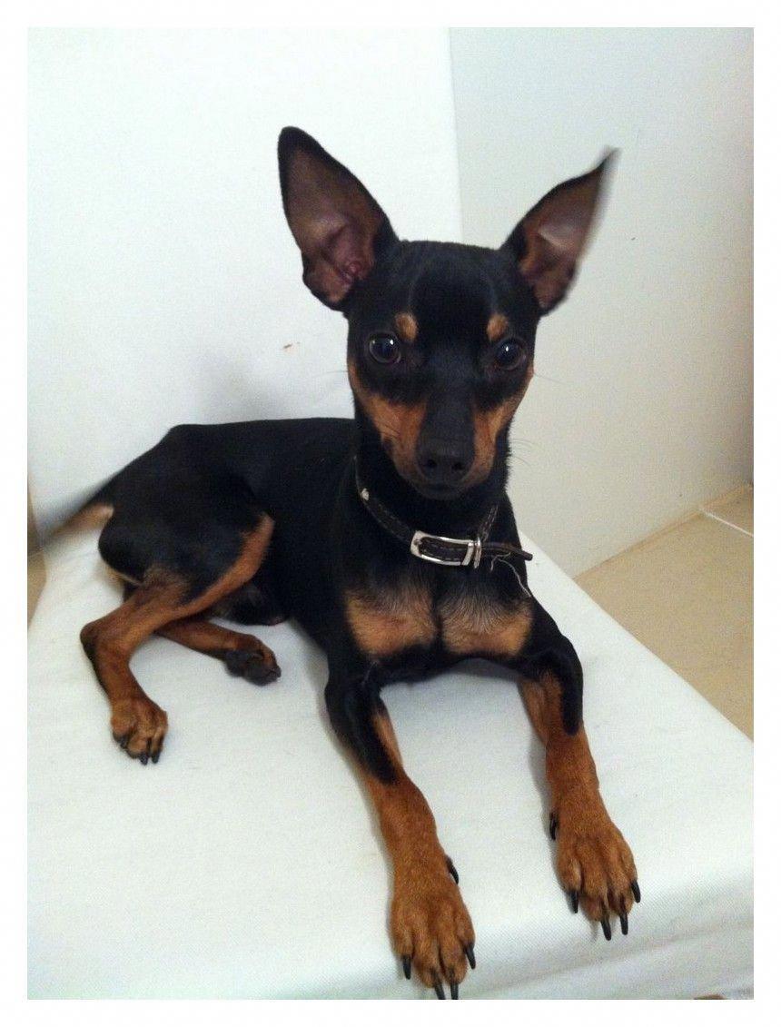 Discover The Fearless Doberman Pinschers Dogs Dobermanpinscher