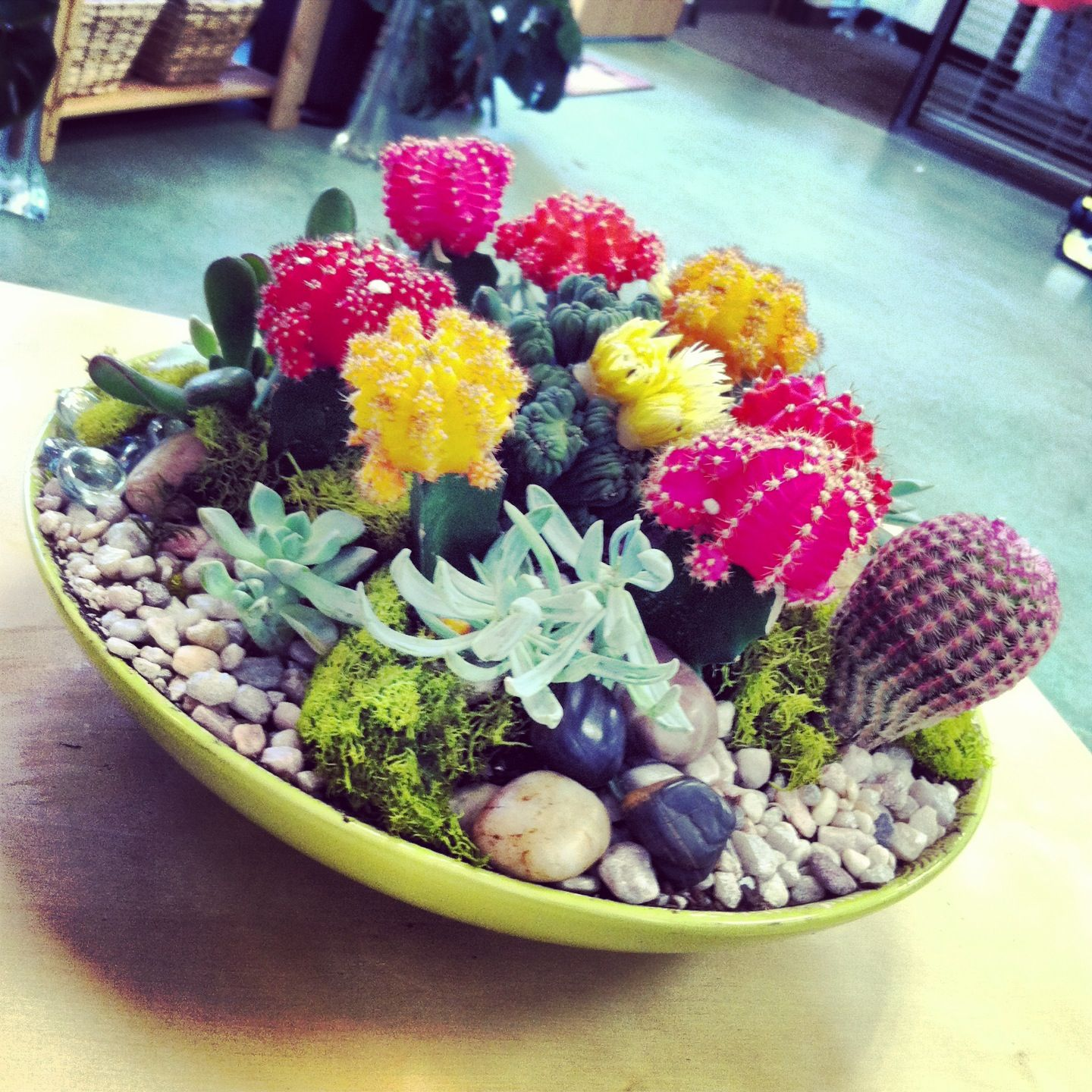 Moon cacti and succulent dish garden In House Garden