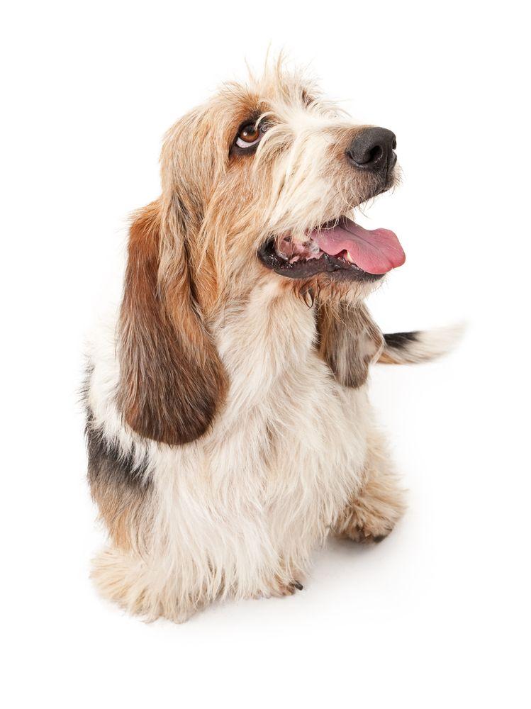 Tzu Basset Dogs Shih Tzu Dog Paintings