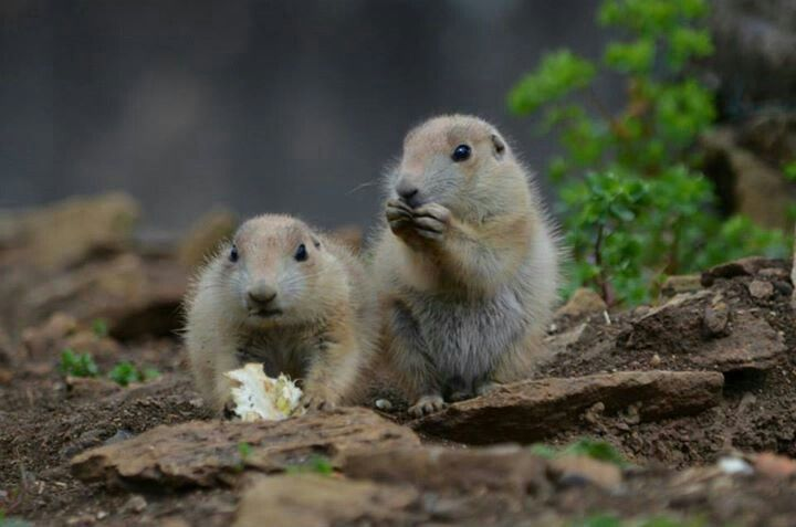 Prairie dogs at cotswold wildlife park