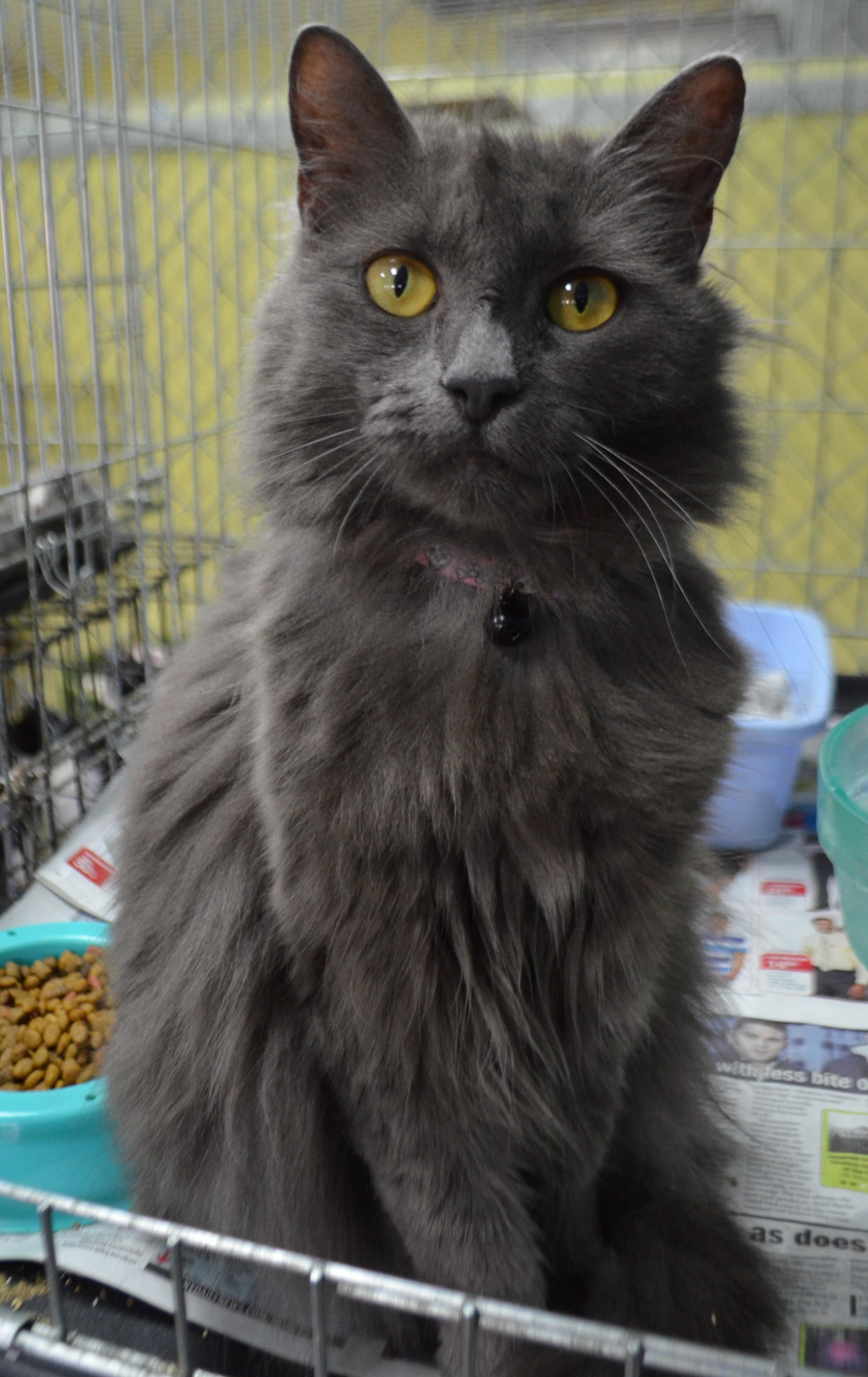 Adopt Princess on Chartreux cat, Cat adoption, Cats