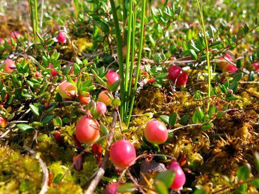 Клюква болотная - Клюква применяется для лечения и профилактики ...