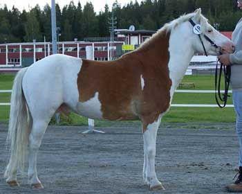 Gotland Pony - stallion Allgunnens Yes RR 560 (Grafit - Allgunnens Timmie - Quito) | Visa era skäckar! - Färger - #Gotlandsruss iFokus