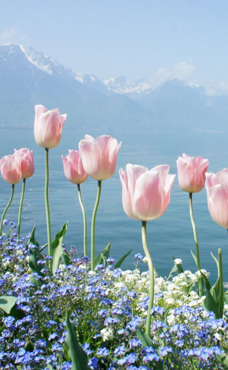 Pink Tulips With Blue Sea And Blue Sky View Spring Flowers