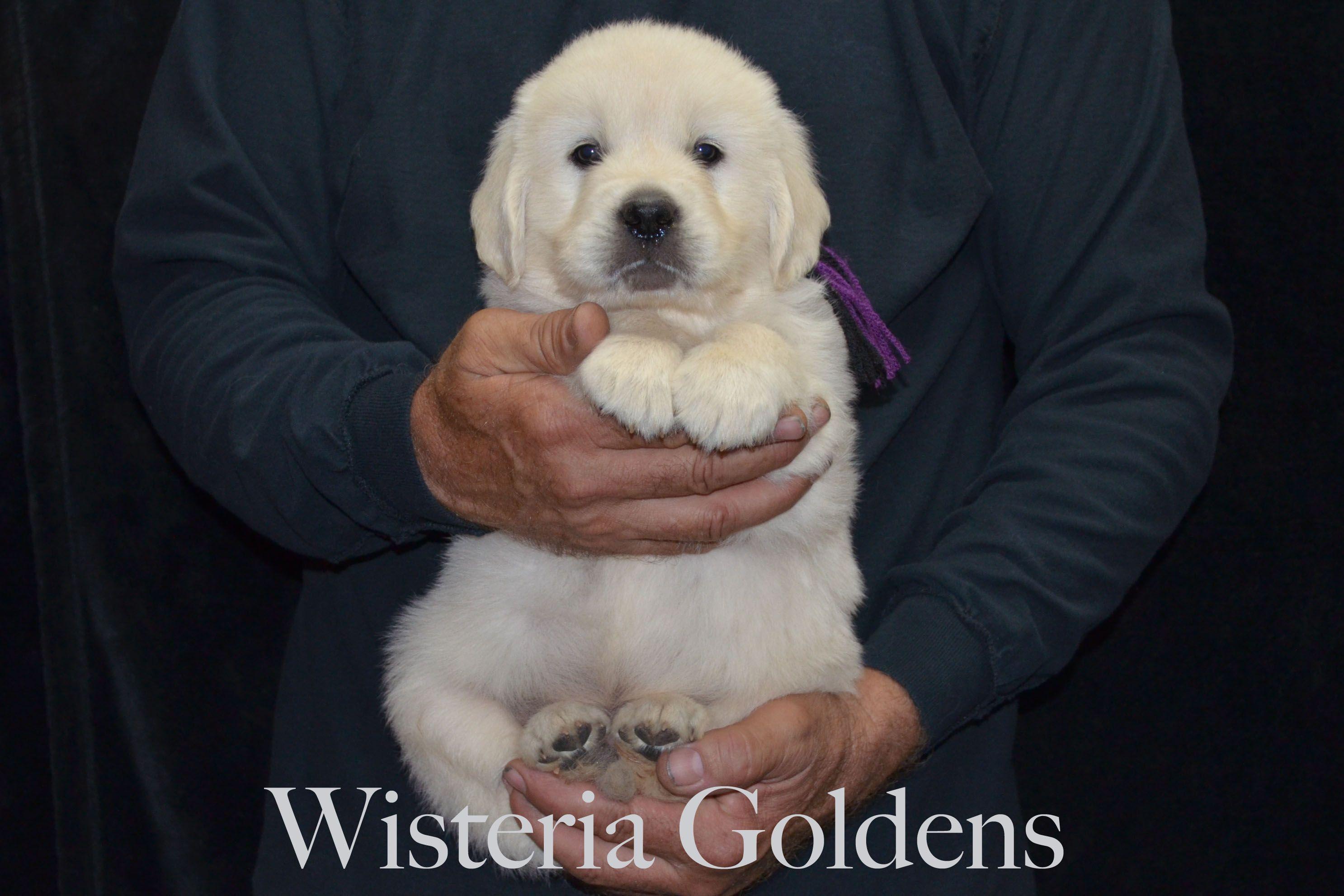 English Cream Golden Retriever Puppies For Sale Honor Puppies