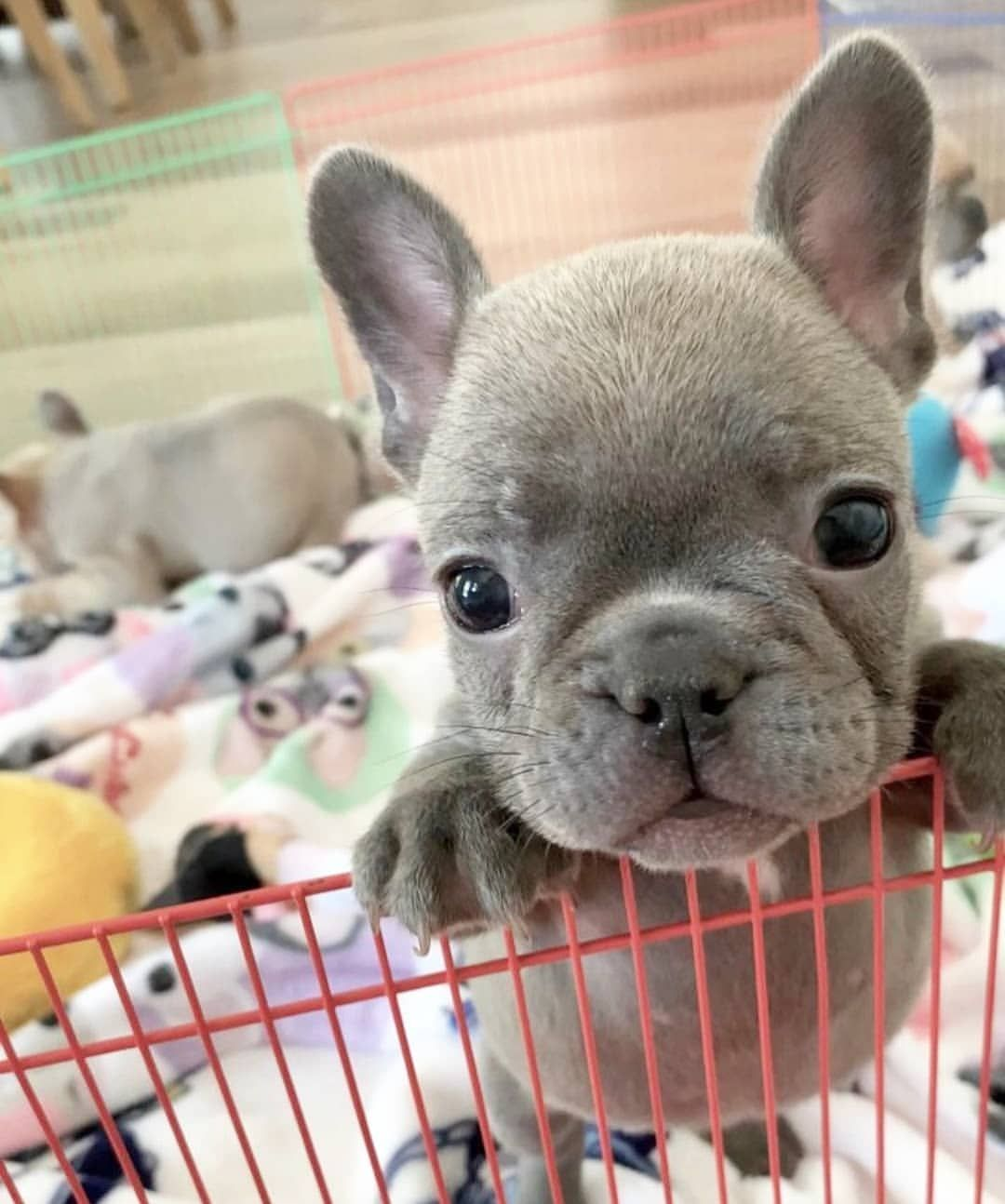 Visit Our Website For More Thing About French Bulldog Cute Funny Animals Cute Baby Animals Cute Dogs