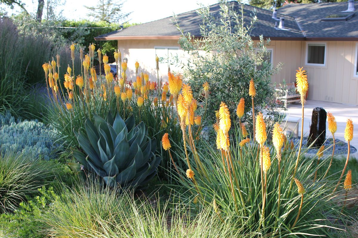 Kniphofia Shining Sceptre And Agave Blue Flame Sycamore