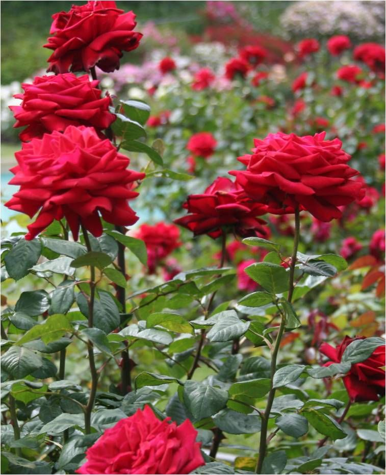 God Never Promised a Rose Garden. Projects to Try Cura