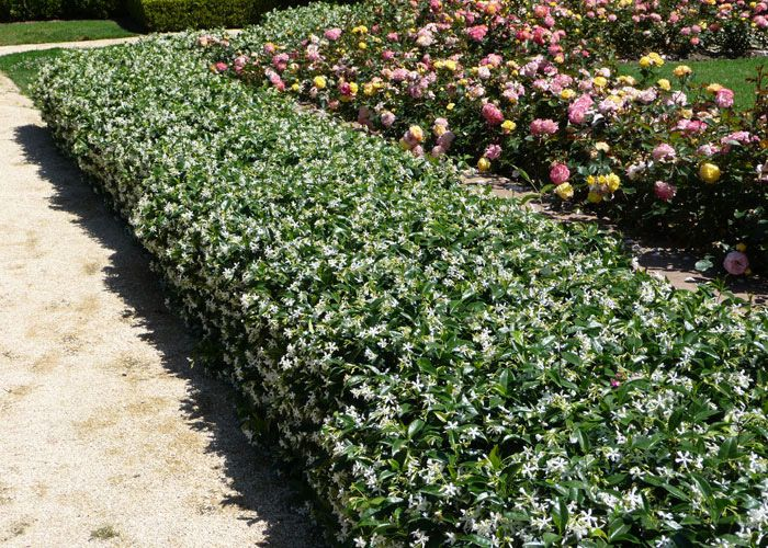 dwarf jasmine ground cover trachelospermum jasminoides star jasmine gardens pinterest. Black Bedroom Furniture Sets. Home Design Ideas