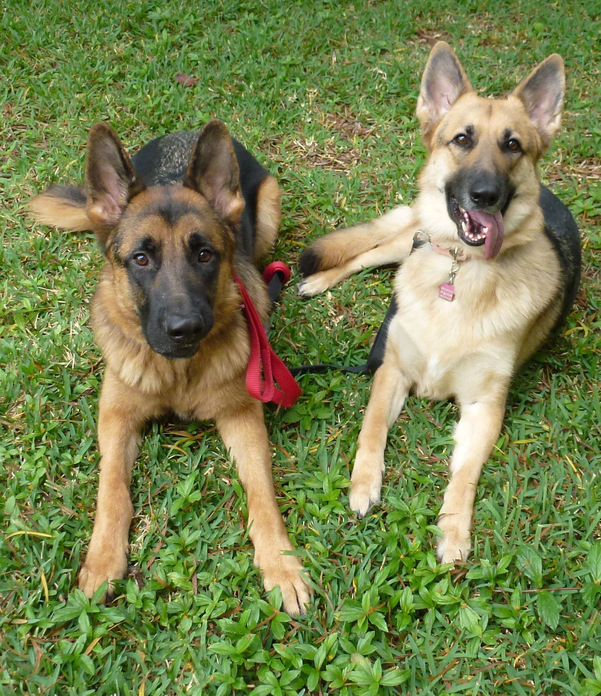Happy german shepherds in training with balanced obedience