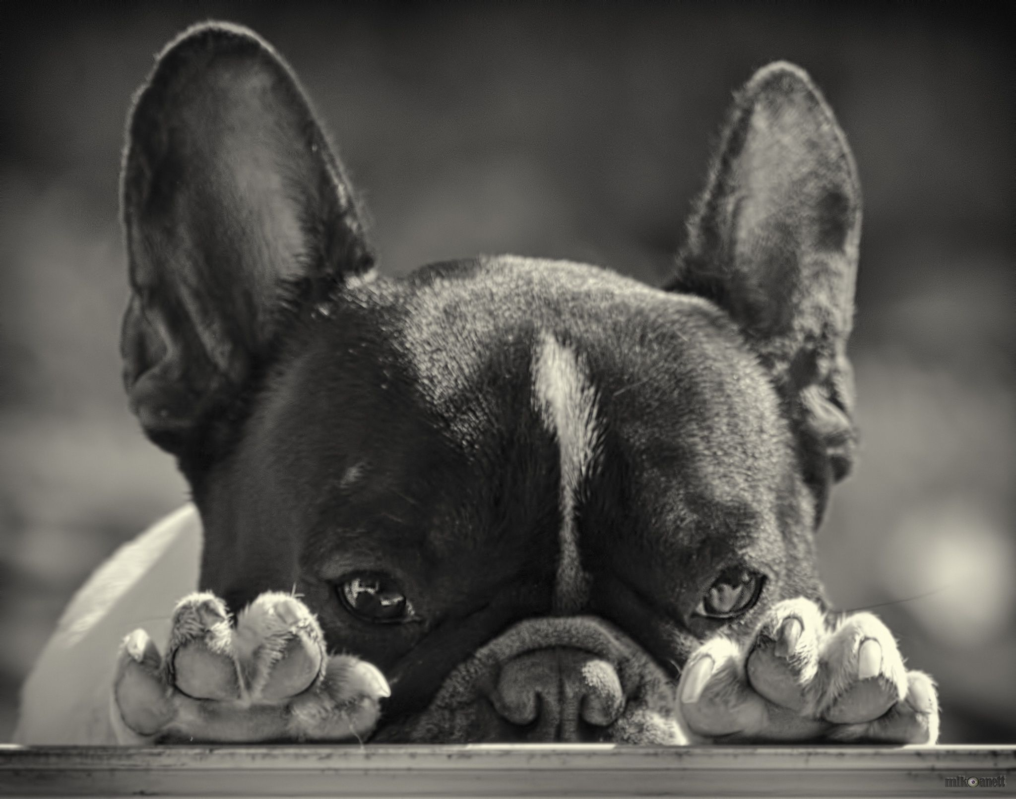 Peek A Boo French Bulldog French Bulldog White French