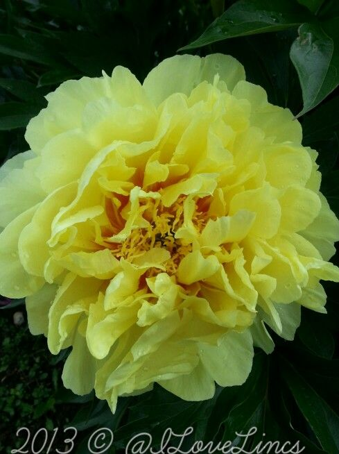 Pin By Jennifer Eschenburg On What S New At The Nursery 2014 Flowers Perennials Growing Peonies Garden Flowers Perennials