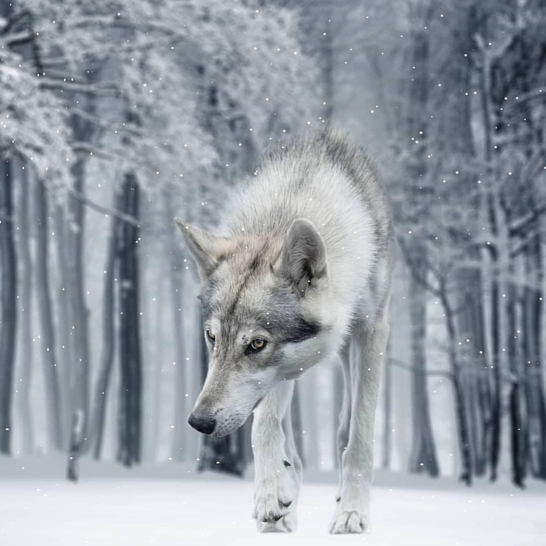Schnee Wolf Wolfe Schnee Echter Wolf Weisser Wolf Schnee Super Coole Wolfe Liebt Wolfsliebhaber Erstaunliches Schneefoto Vo In 2020 Tamaskan Dog Wolf Dog Instagram Dogs