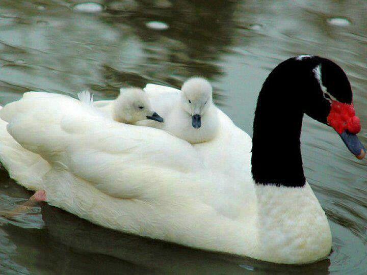 Black neck swan n babies
