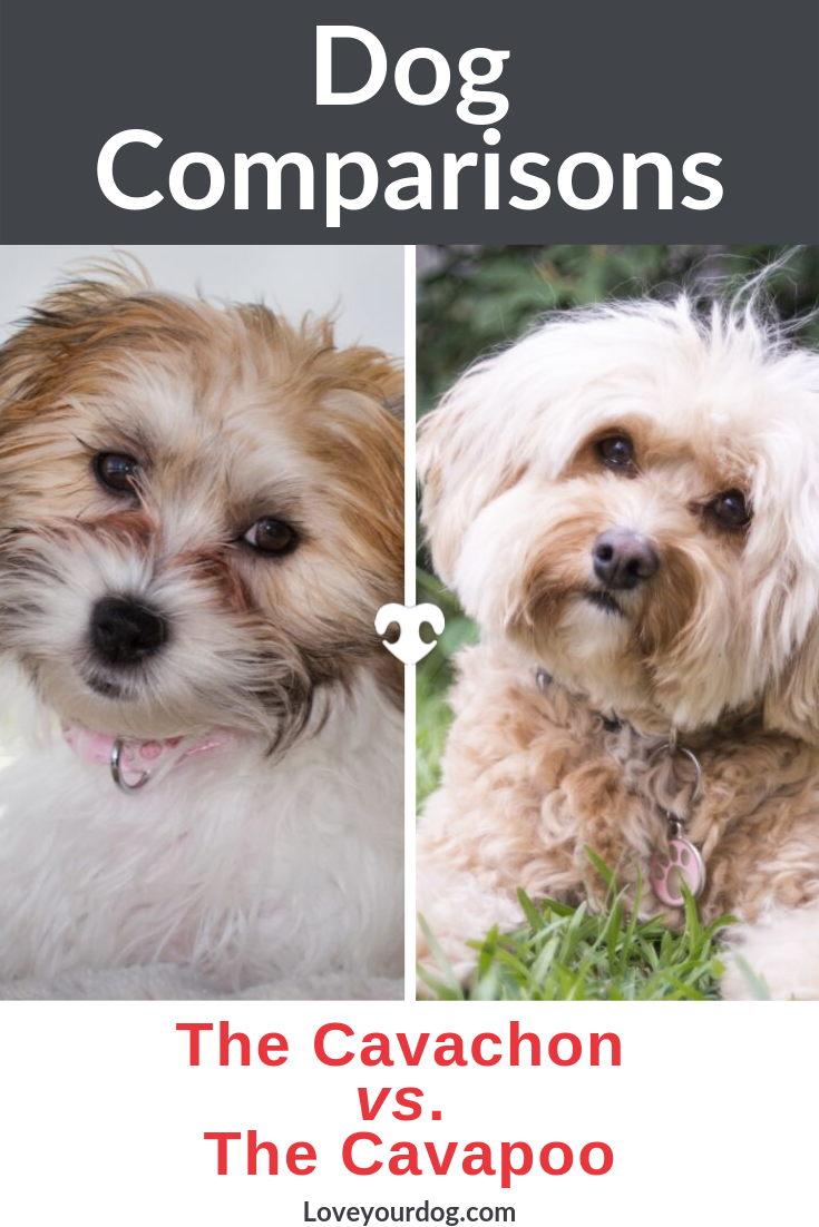 Cavachon Vs Cavapoo Breed Differences And Similarities