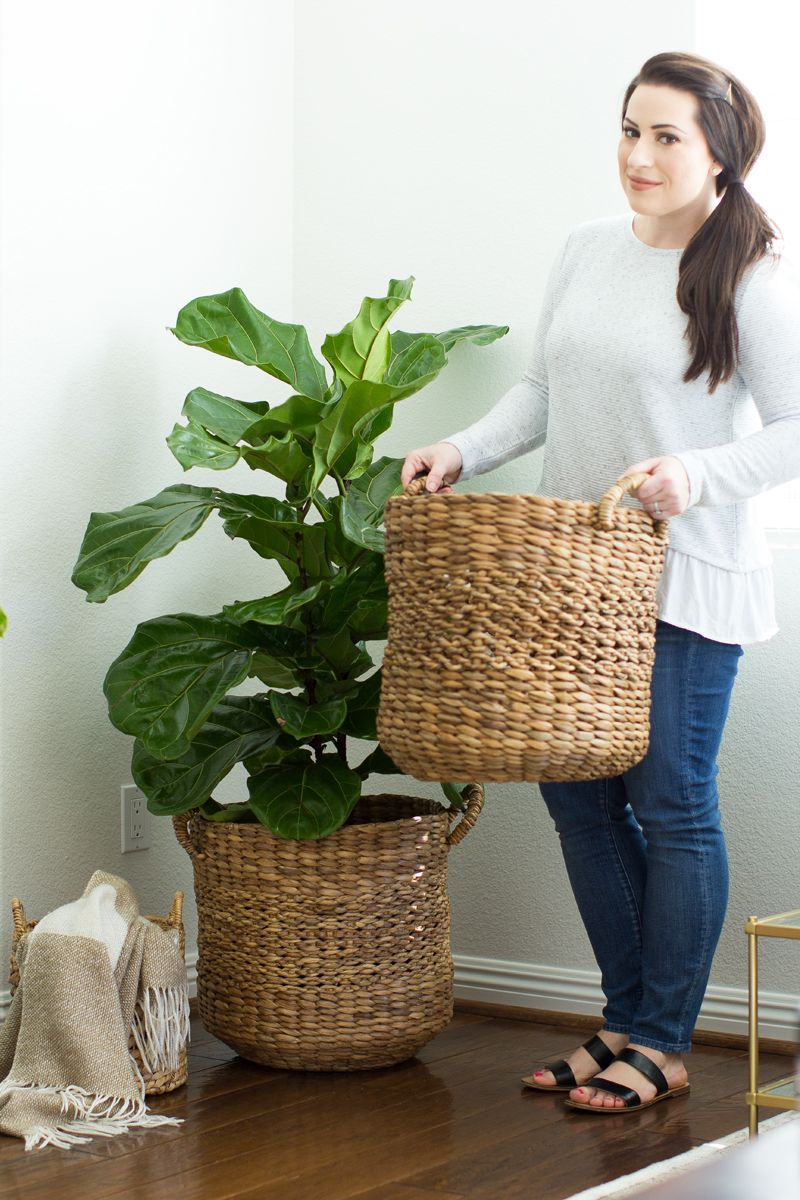 abc4e87f9dc baskets for indoor trees, fiddle leaf fig tree in basket   good info ...